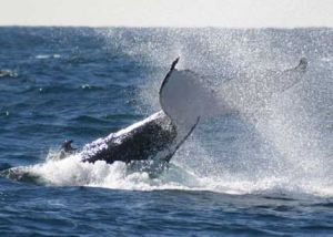 Whale Watching Sydney - Accommodation Sunshine Coast