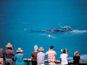 Whale Watching At Head Of Bight - Accommodation Sunshine Coast
