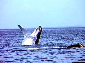 Whale Watching - Accommodation Sunshine Coast